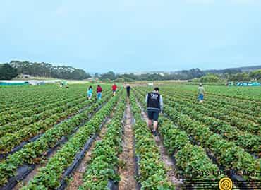 Children walking in a strawberry farm